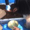 カブトムシの幼虫の観察